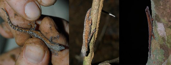 lygodactylus02.jpg
